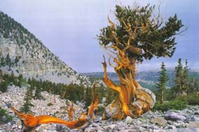 Bristlecone pine Great Basin