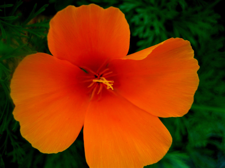 File California Poppy Eschscholzia