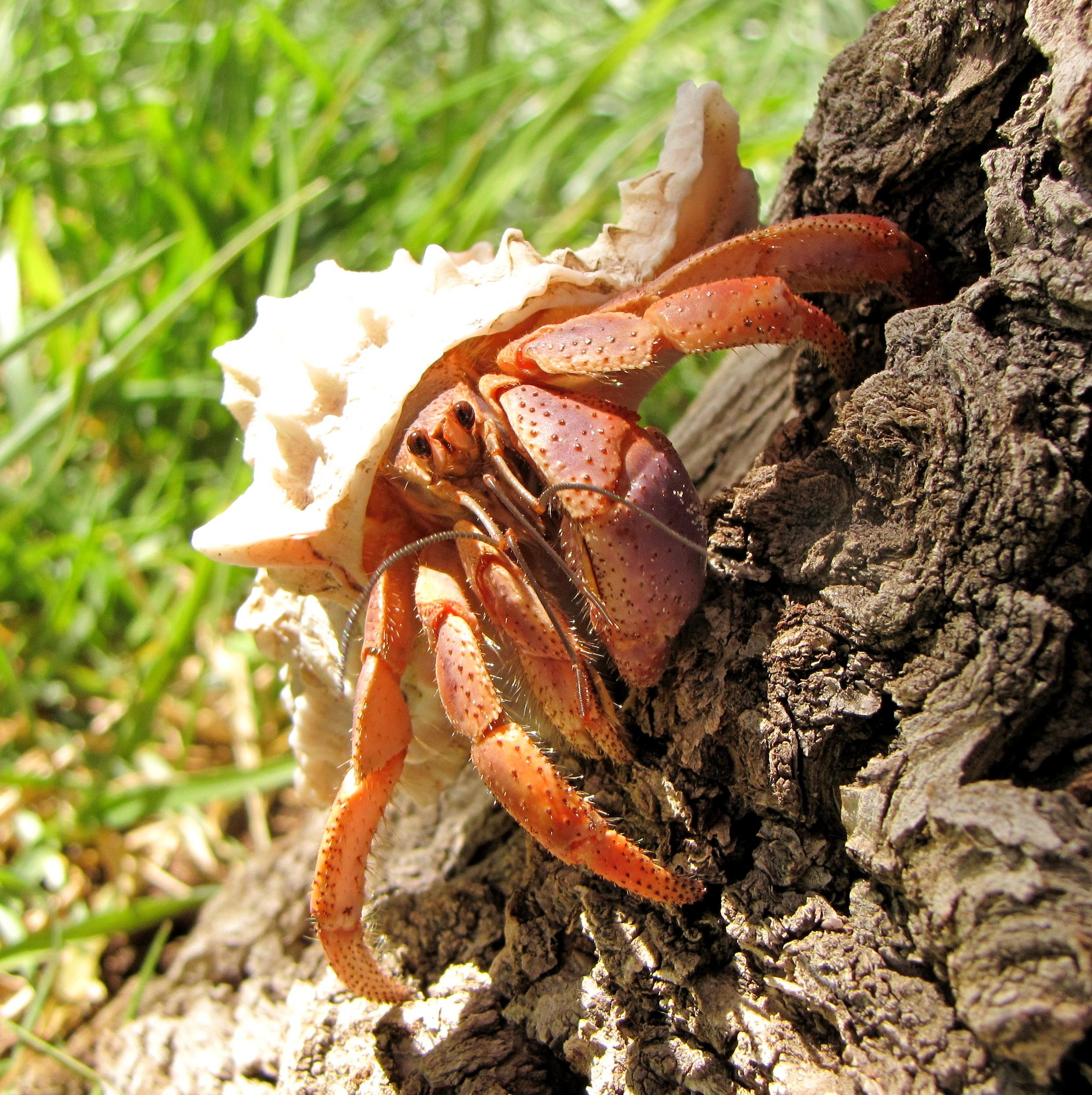 Hermit crab - photo#11