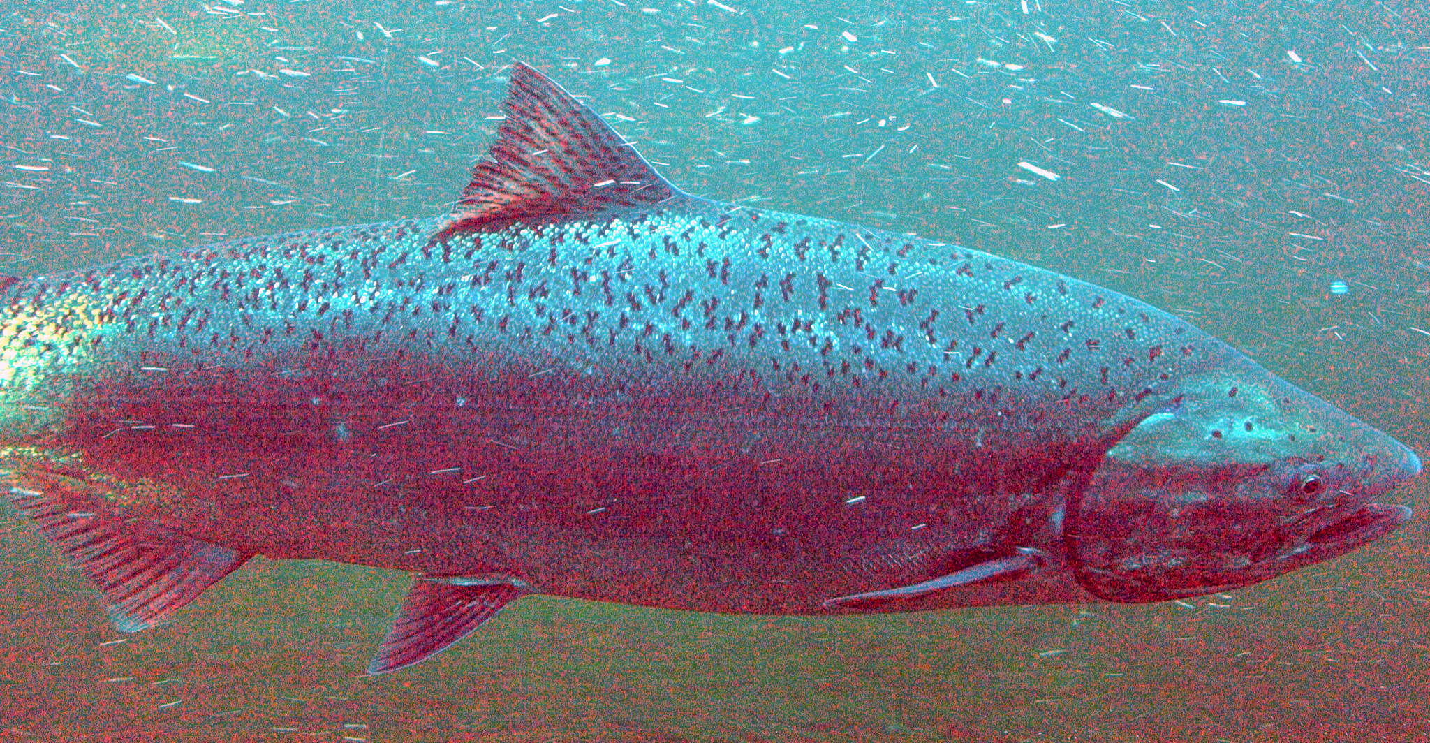 File chinook wikimedia commons for Chinook salmon fishing