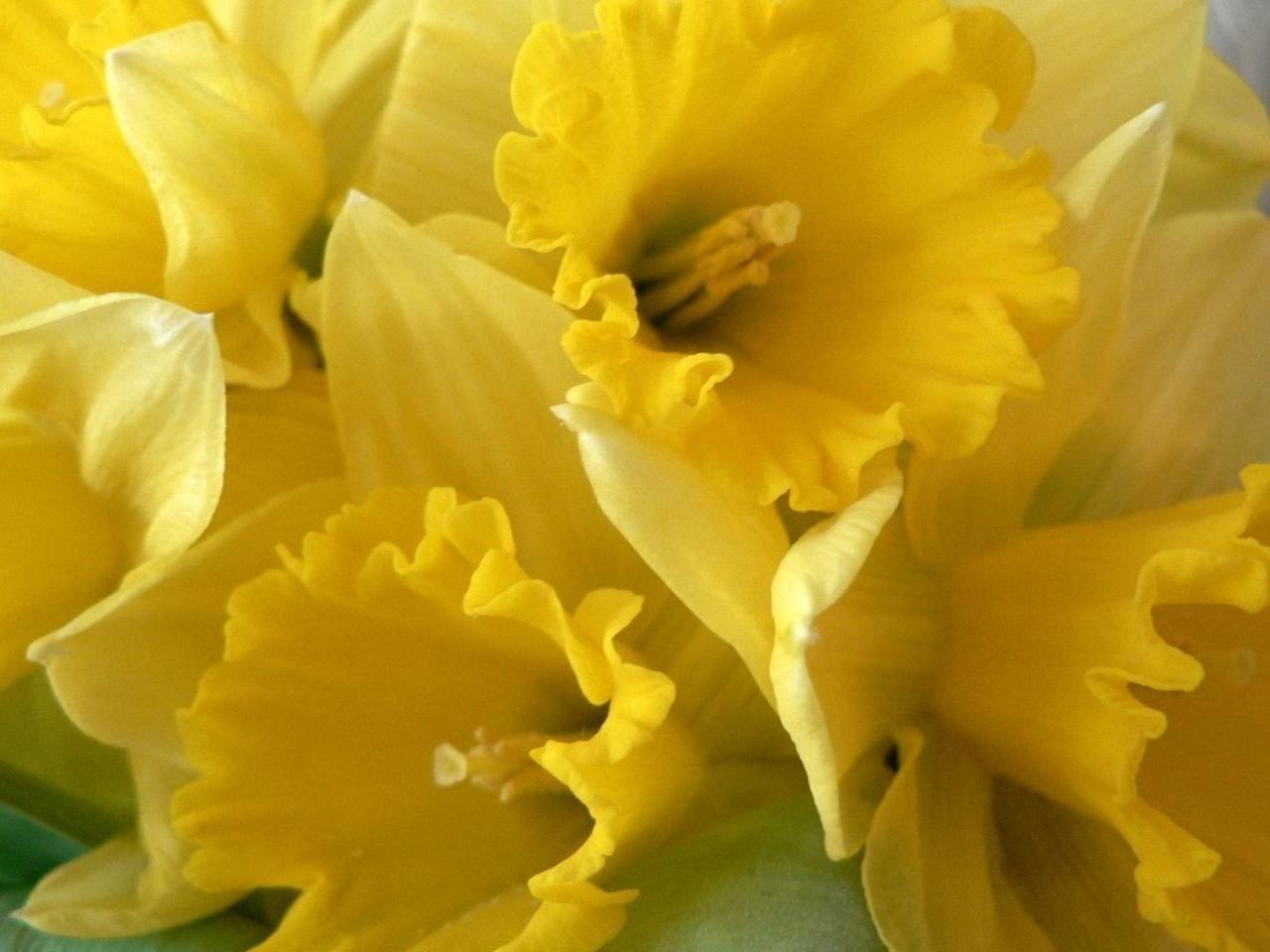 Description daffodils yellow