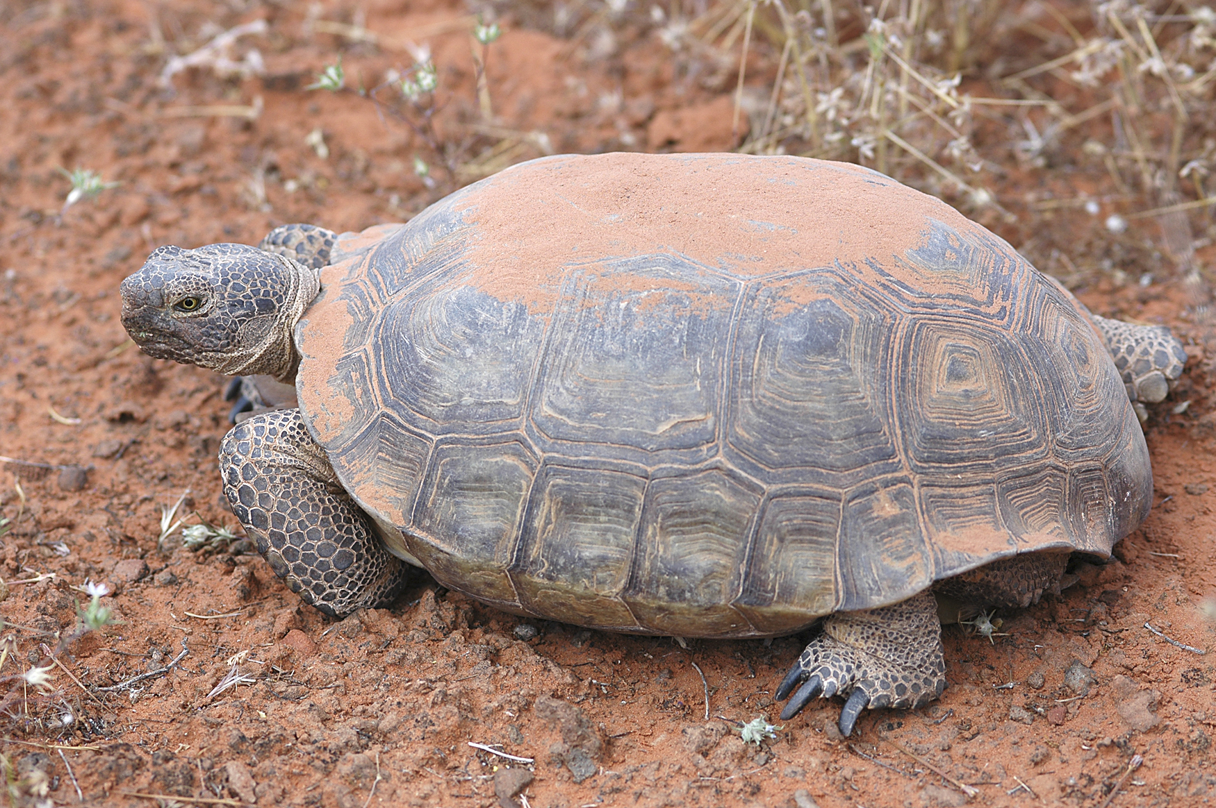 http://upload.wikimedia.org/wikipedia/commons/e/e7/Desert_tortoise.jpg