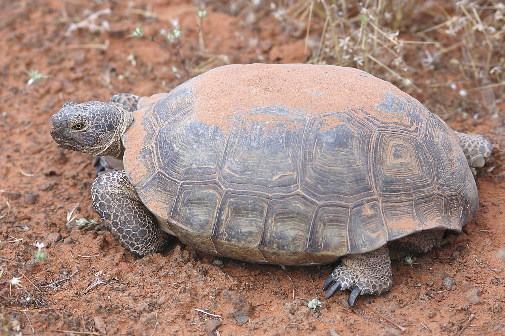 http://upload.wikimedia.org/wikipedia/commons/e/e7/Desert_tortoise.jpg