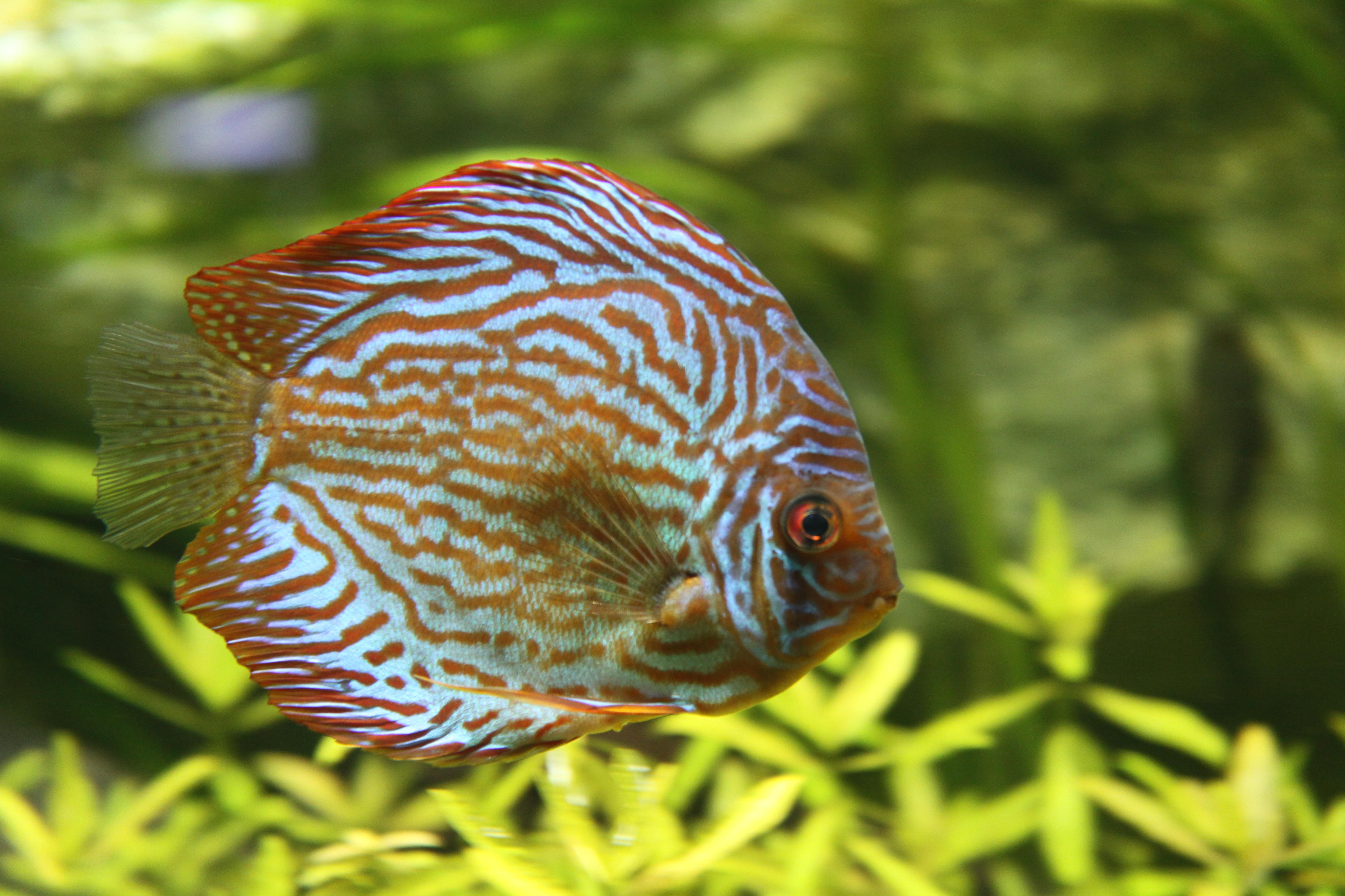 File Discus Aquarium Tropical Porte Dor 233 E 003 Jpg Wikimedia Commons
