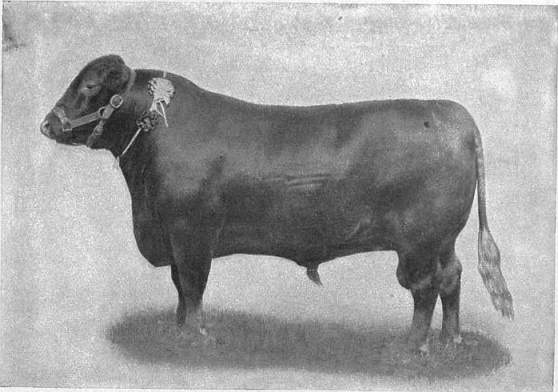 EB1911 Cattle - RED POLLED BULL.jpg