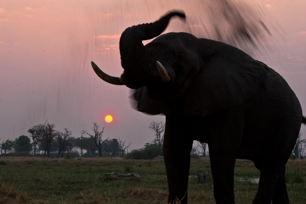An African Elephant in the Okavango Delta, Botswana, dust bathing at sunset. From 10 of the Best Experiences on a Safari in Africa