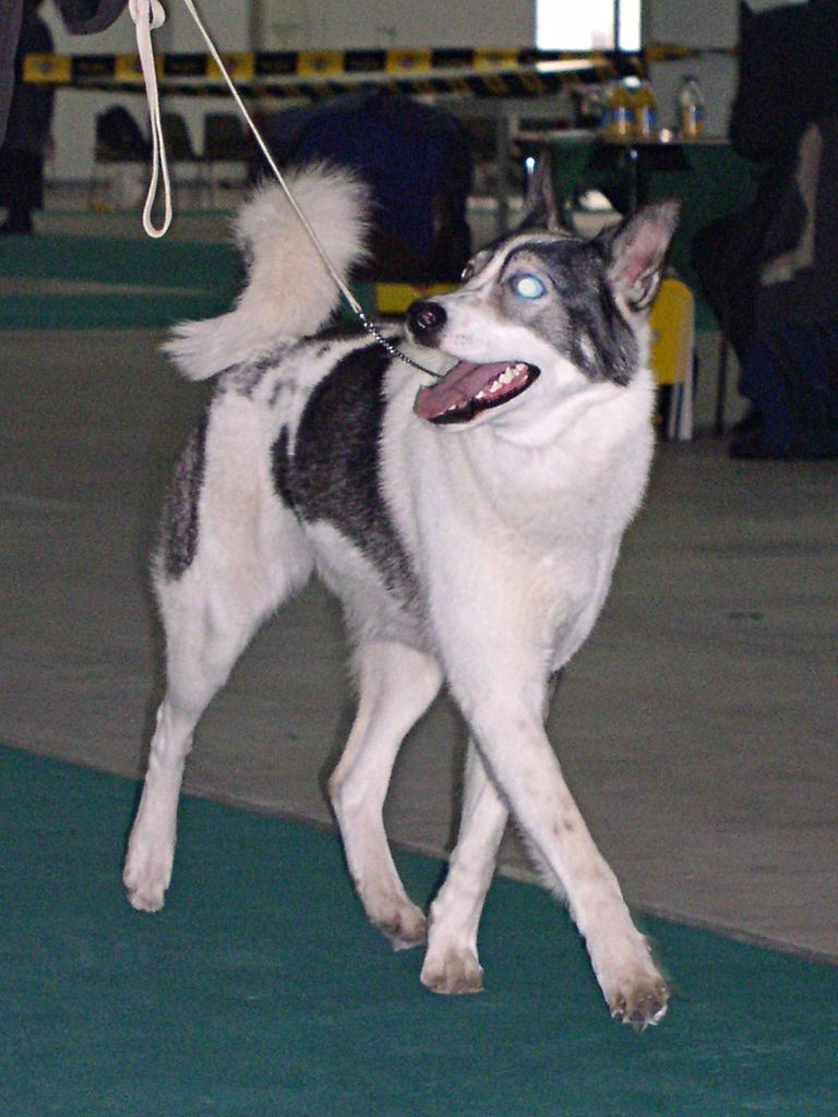 Laika (dog breed) - Wikipedia
