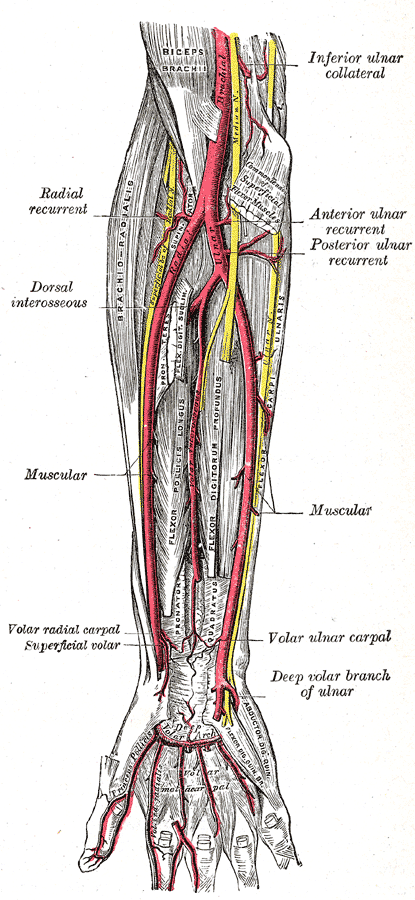 Radial Artery Of Index Finger Wikiwand