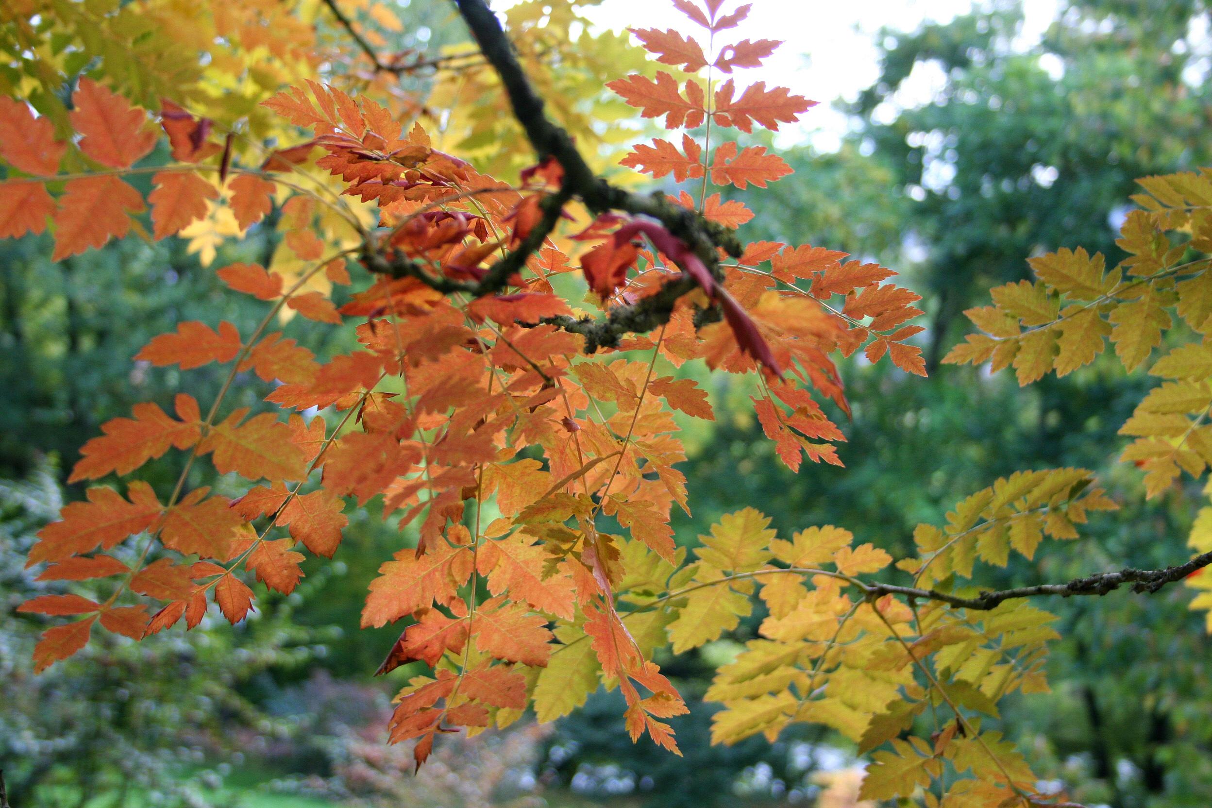 File:Koelreuter... L Is For Leaf