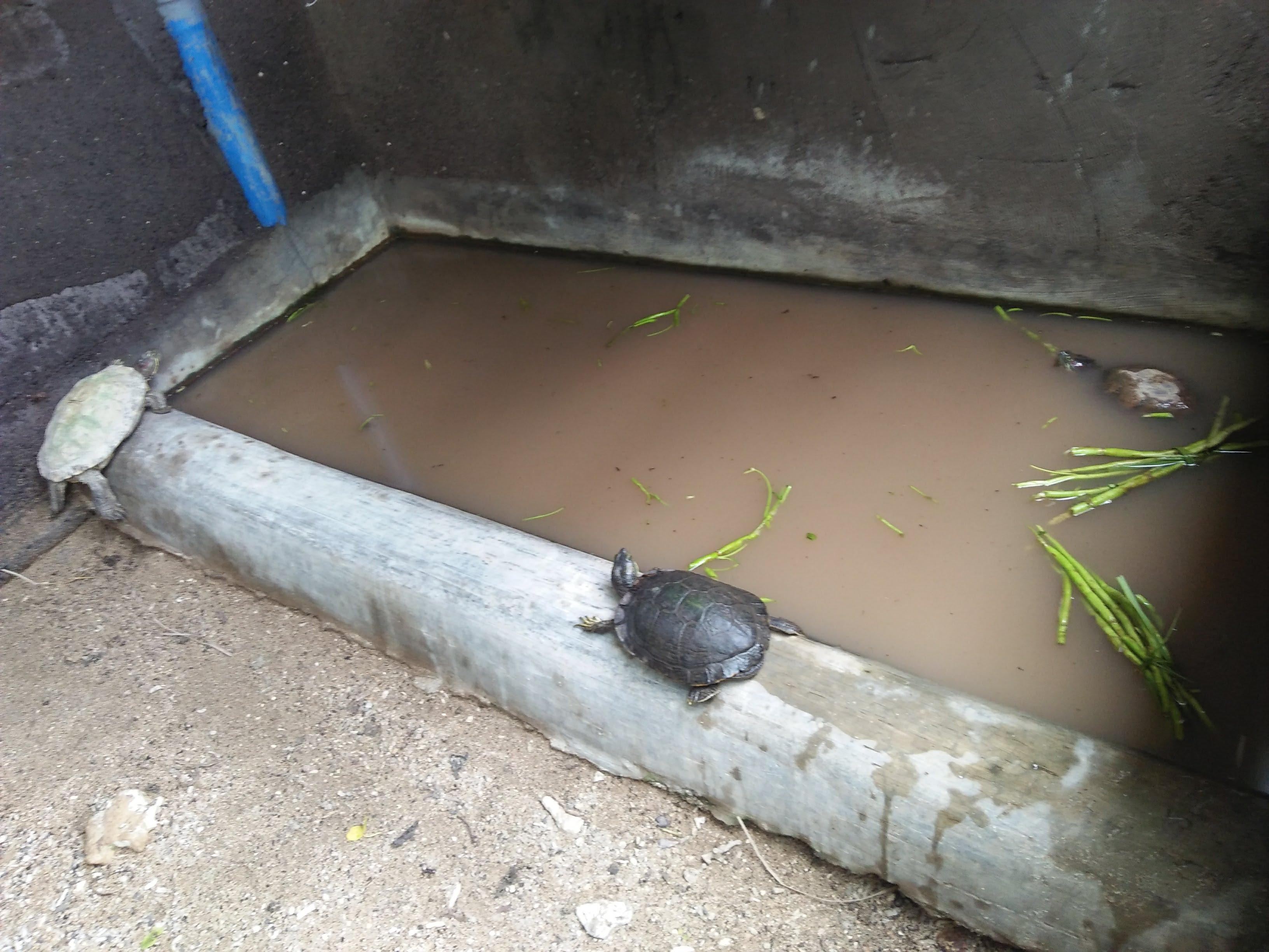 File:Kura-kura di Tanjung Benoa.jpg