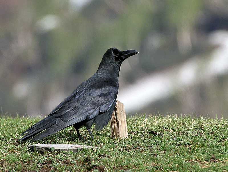 Of tellers and tales: Symbolism of the crow in Indian mythology