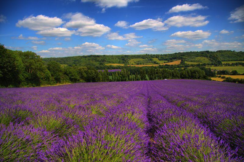 File Lavender Fields Lullingstone