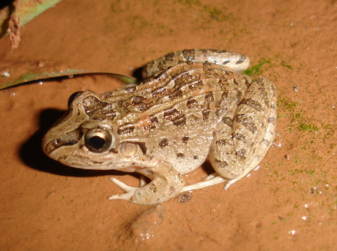 Leptodactylus chaquensis[19].