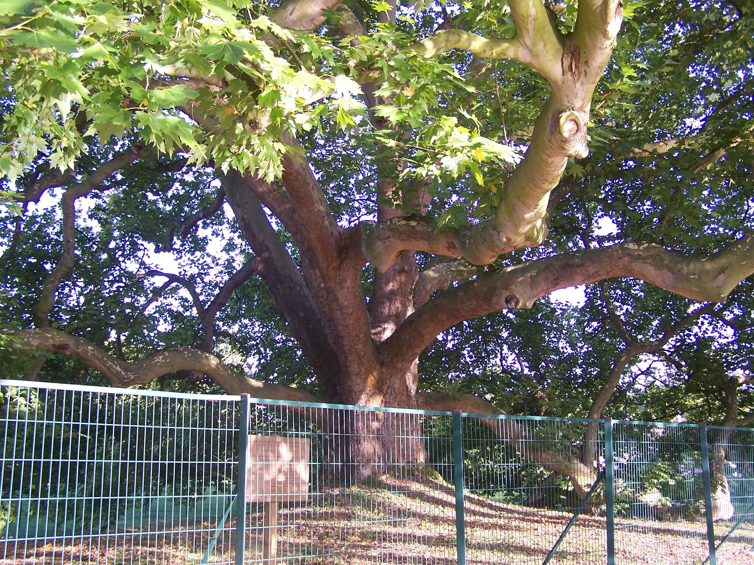 FileLes ClayessousBois Arbre de Diane2JPG  Wikimedia  ~ Natureo Clayes Sous Bois