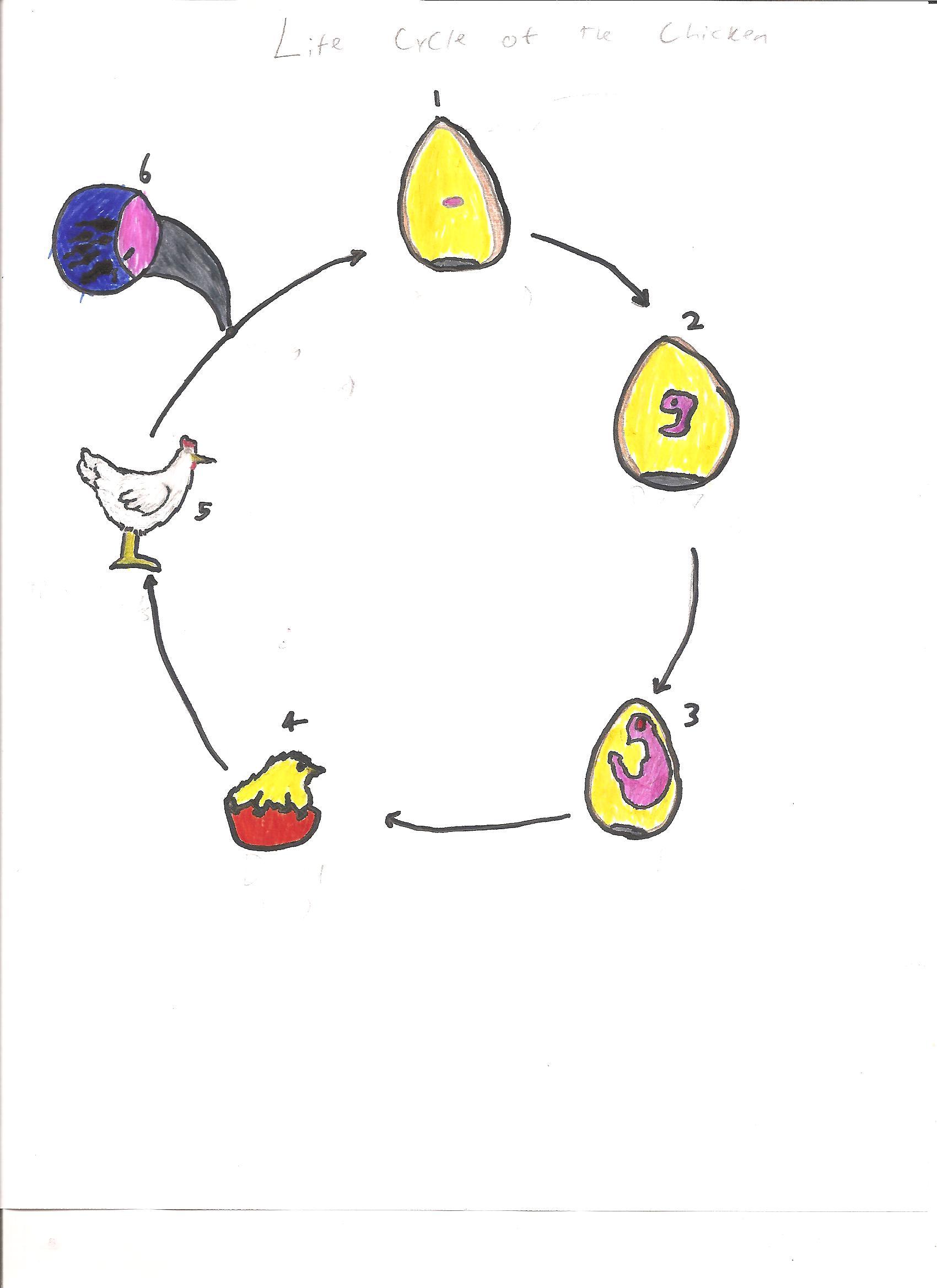 Life cycle of a chicken life cycle of a chicken photo11 robcynllc Choice Image