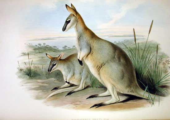 http://upload.wikimedia.org/wikipedia/commons/e/e7/Macropus_greyi_-_Gould.jpg