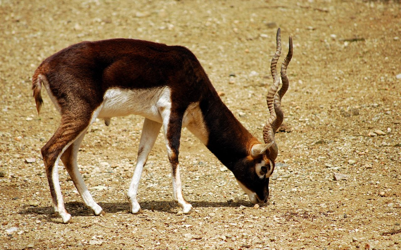 https://upload.wikimedia.org/wikipedia/commons/e/e7/Male_Blackbuck.jpg