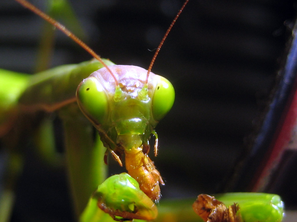 the description of the praying mantis mantis religiosa Description females of this  while, most species of praying mantis have small dots on the inside of the raptors, mantis religiosa has a very prominent black spot.