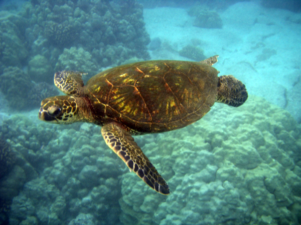 Oracabessa turtle, Jamaica. From Visiting Jamaica? 7 Things You Need to Know
