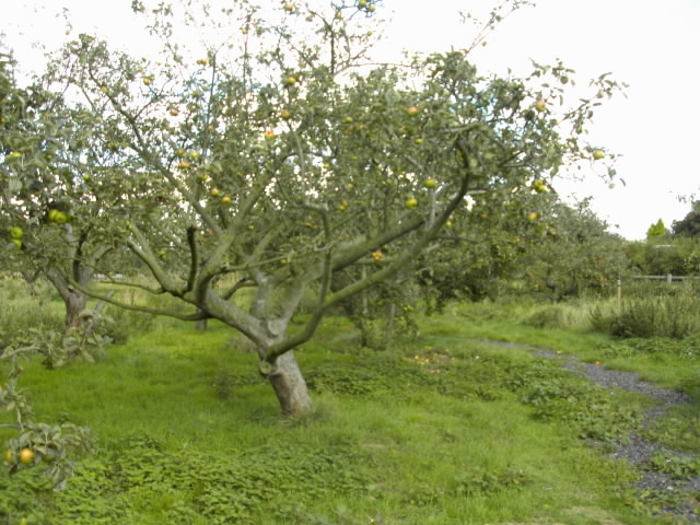 Fruit Tree Pruning Wikipedia