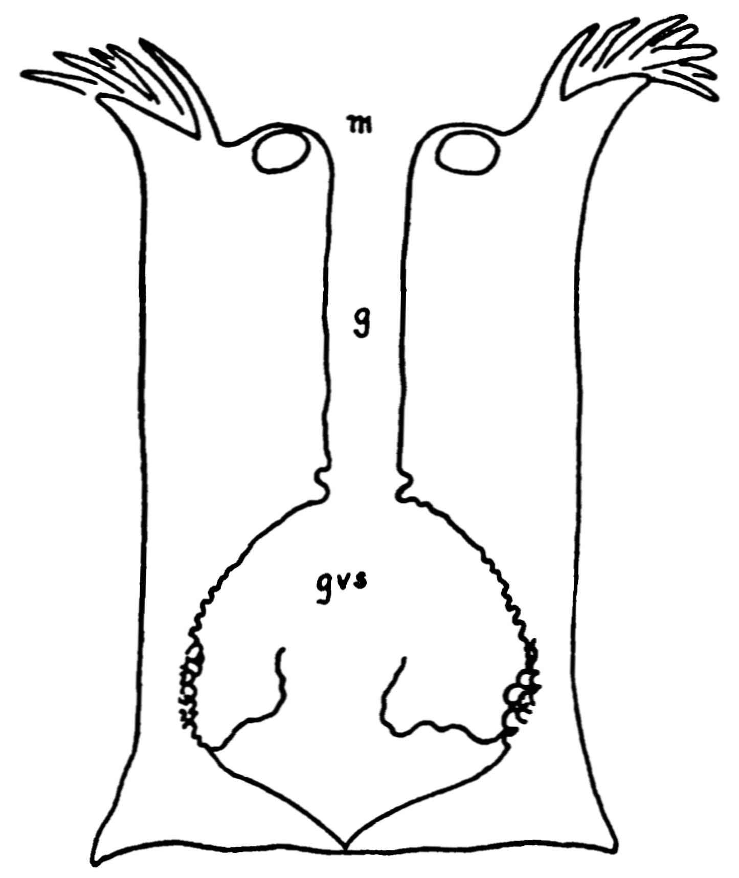 PSM V75 D141 Longitudinal section of a sea anemone.png