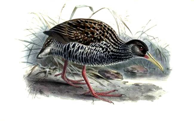 Rallidae image