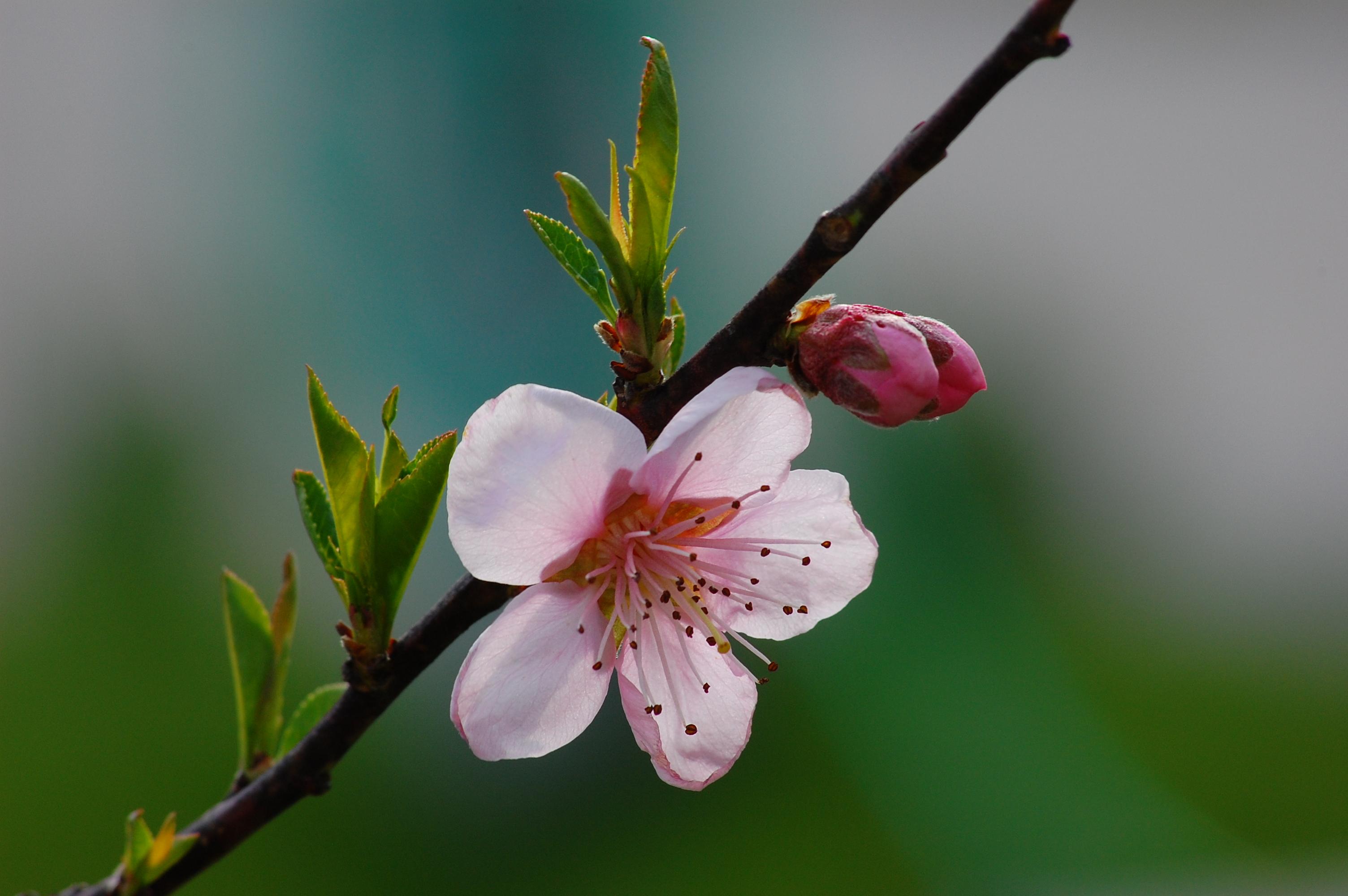 File Peach flower