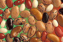 Phaseolus vulgaris seeds are diverse in size, shape, and color.