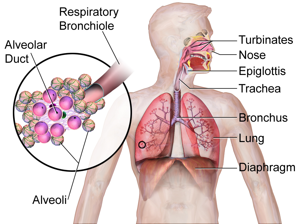 File:Respiratory System (Illustration).png - Wikimedia Commons