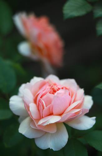 File:Rosa-'Grace'.jpg