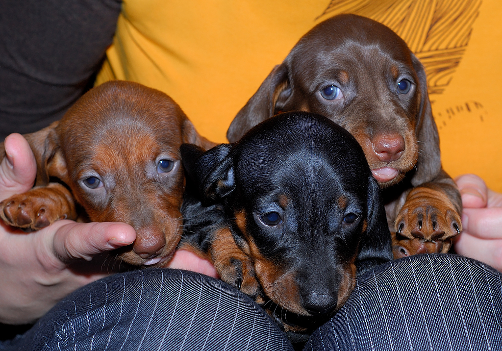 Weenie Dog Puppies For Sale In Tulsa