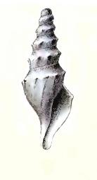 <i>Spirotropis stirophora</i> species of mollusc