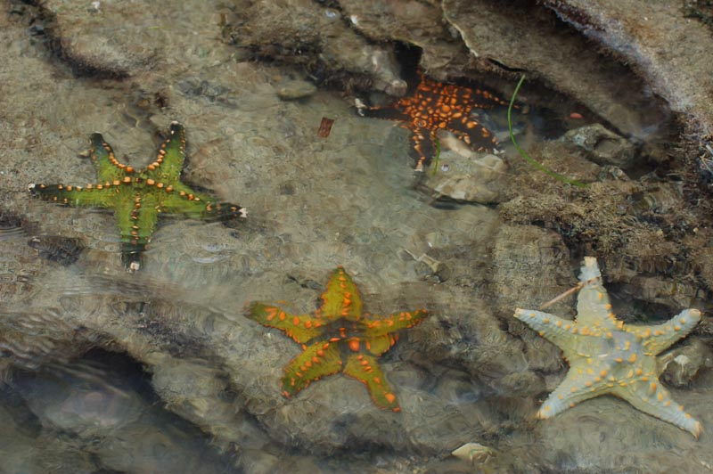 Starfish 05 (paulshaffner).jpg