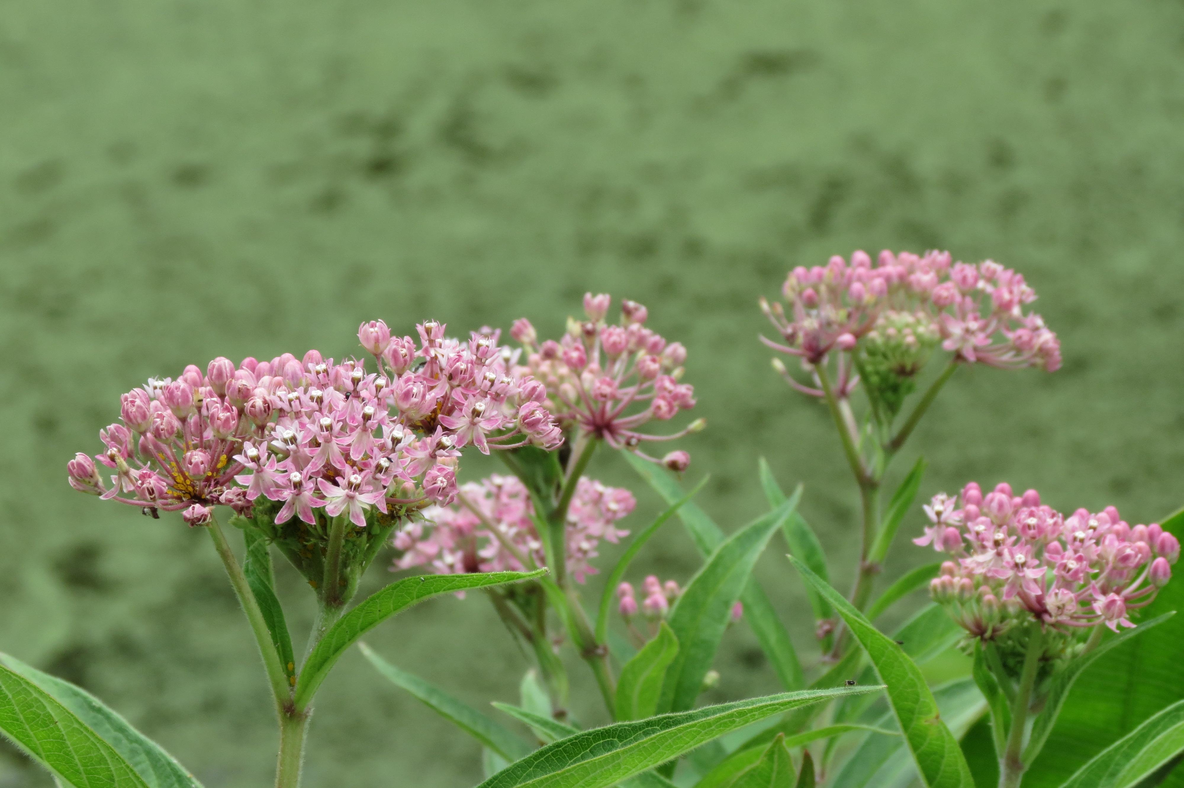 File:Swamp Milkweed (29098623233).jpg - Wikimedia Commons