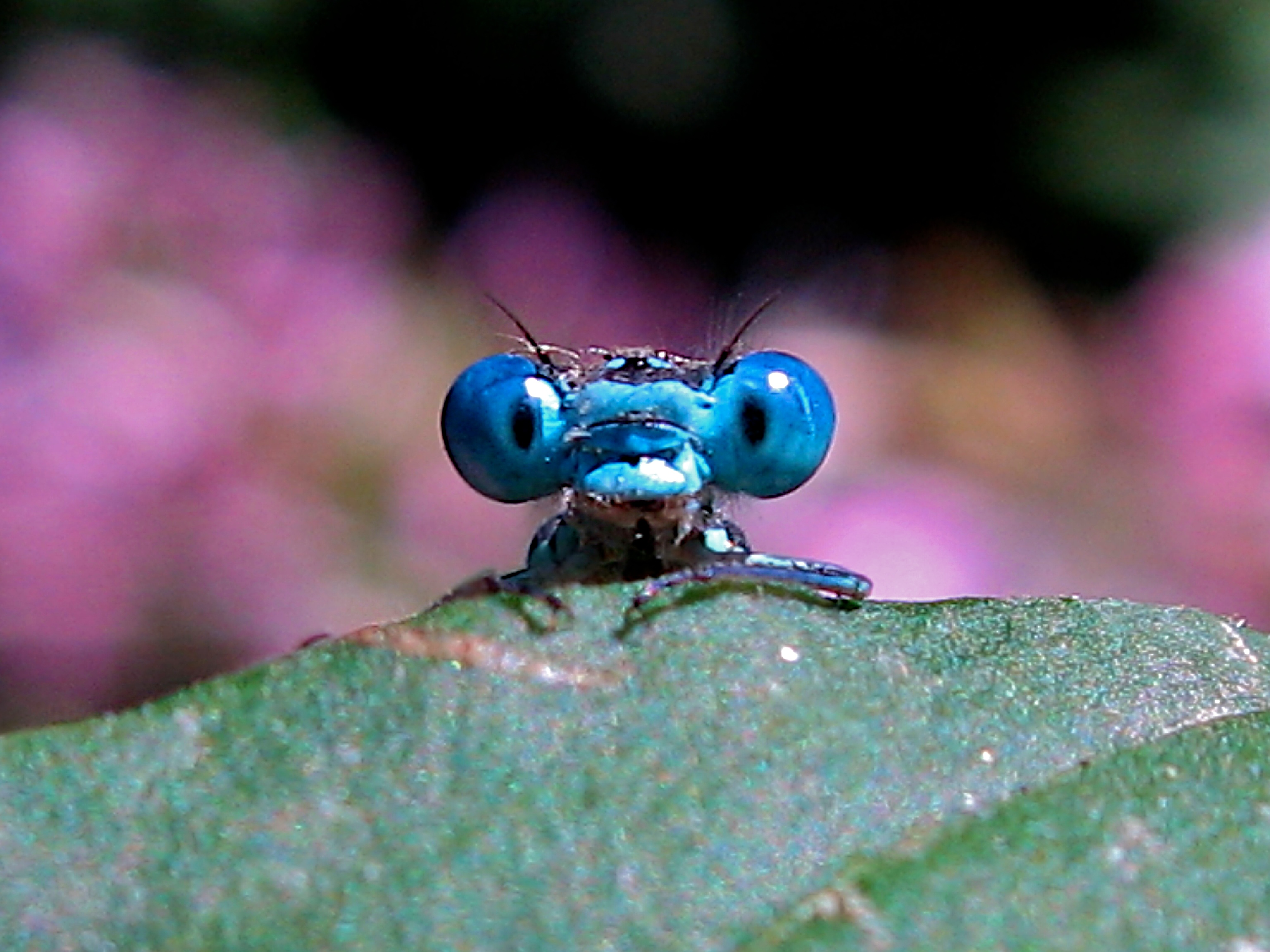 file:timitalia - dragonfly (by) - wikimedia commons