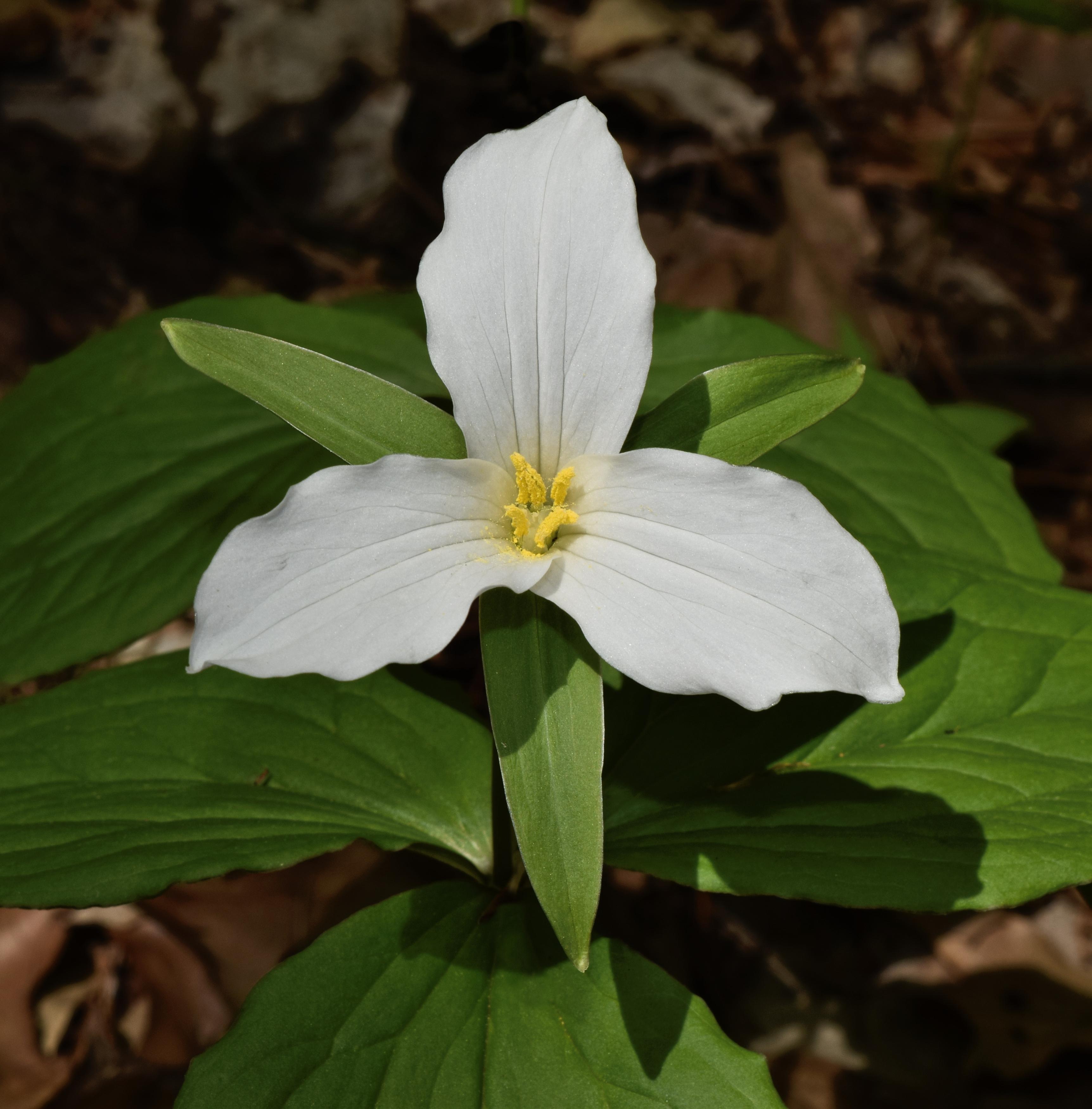 Trillium Grandiflorum Wikipedia