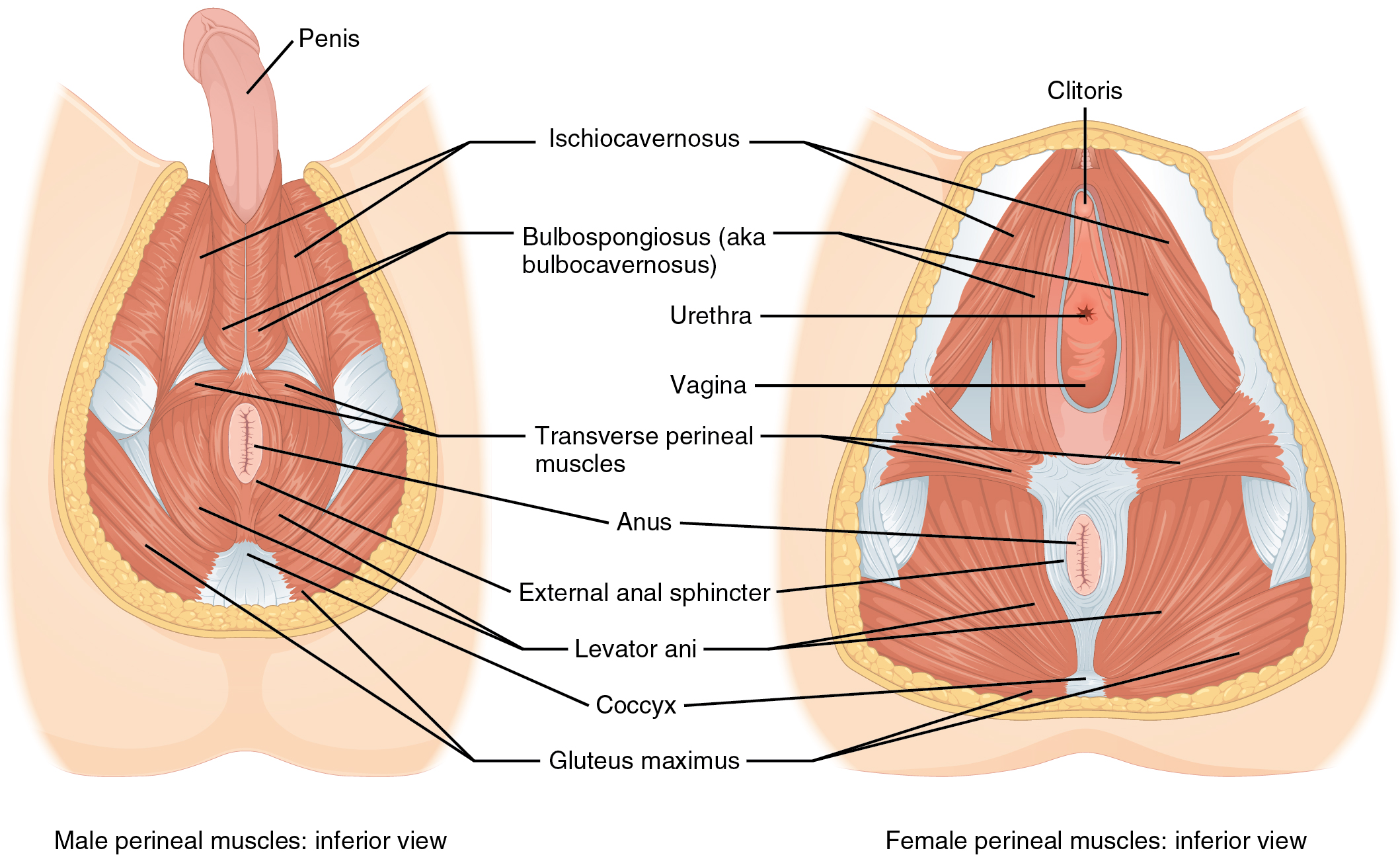 File:1116 Muscle of the Perineum.jpg - Wikimedia Commons