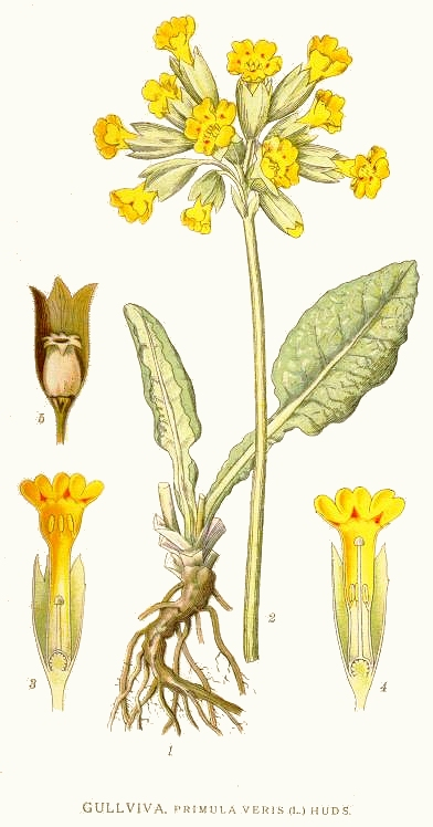http://upload.wikimedia.org/wikipedia/commons/e/e8/136_Primula_veris.jpg