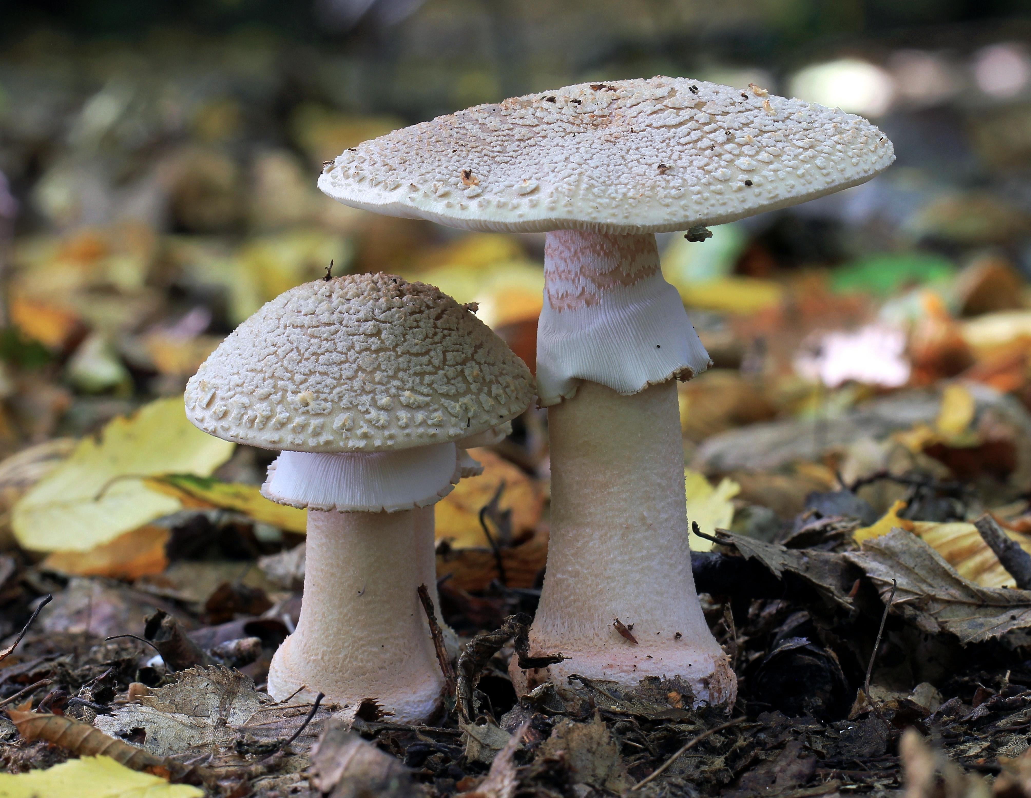 ciuperci vechi