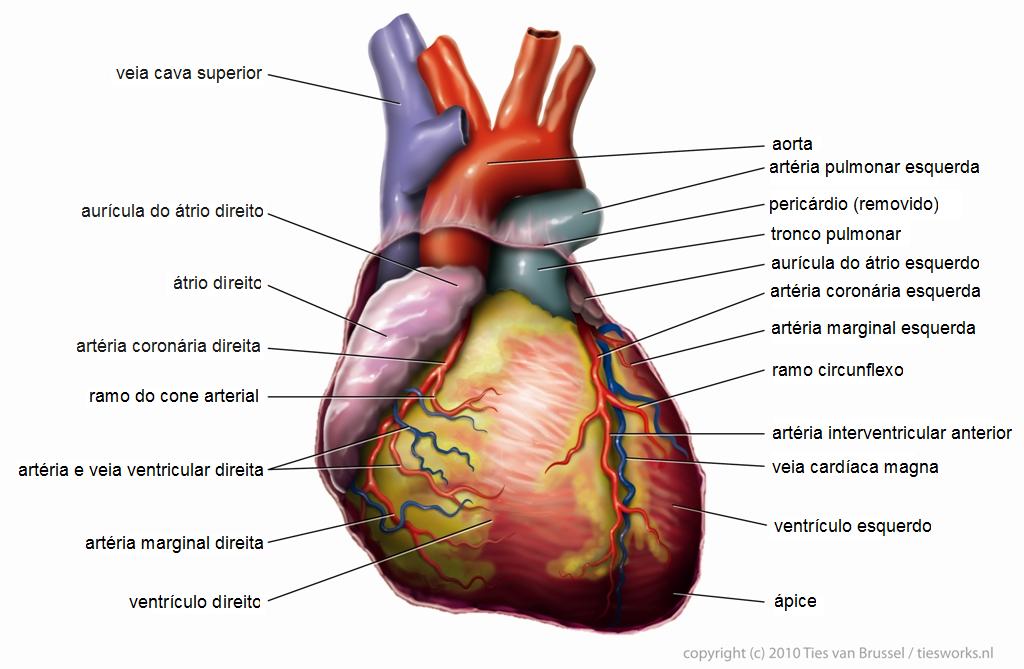 Resultado de imagem para coração humano real