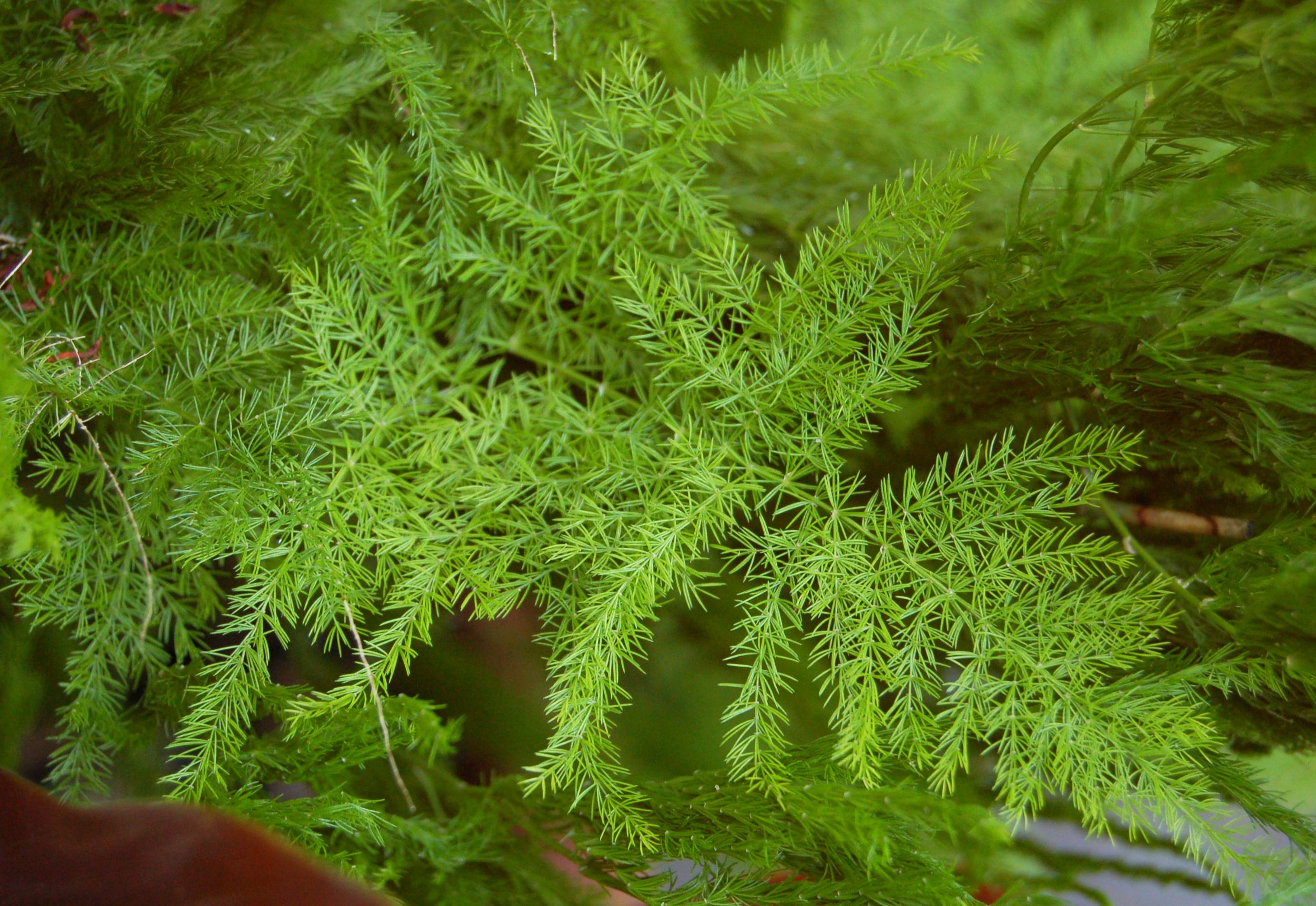 Asparagus Setaceus Wikipedia
