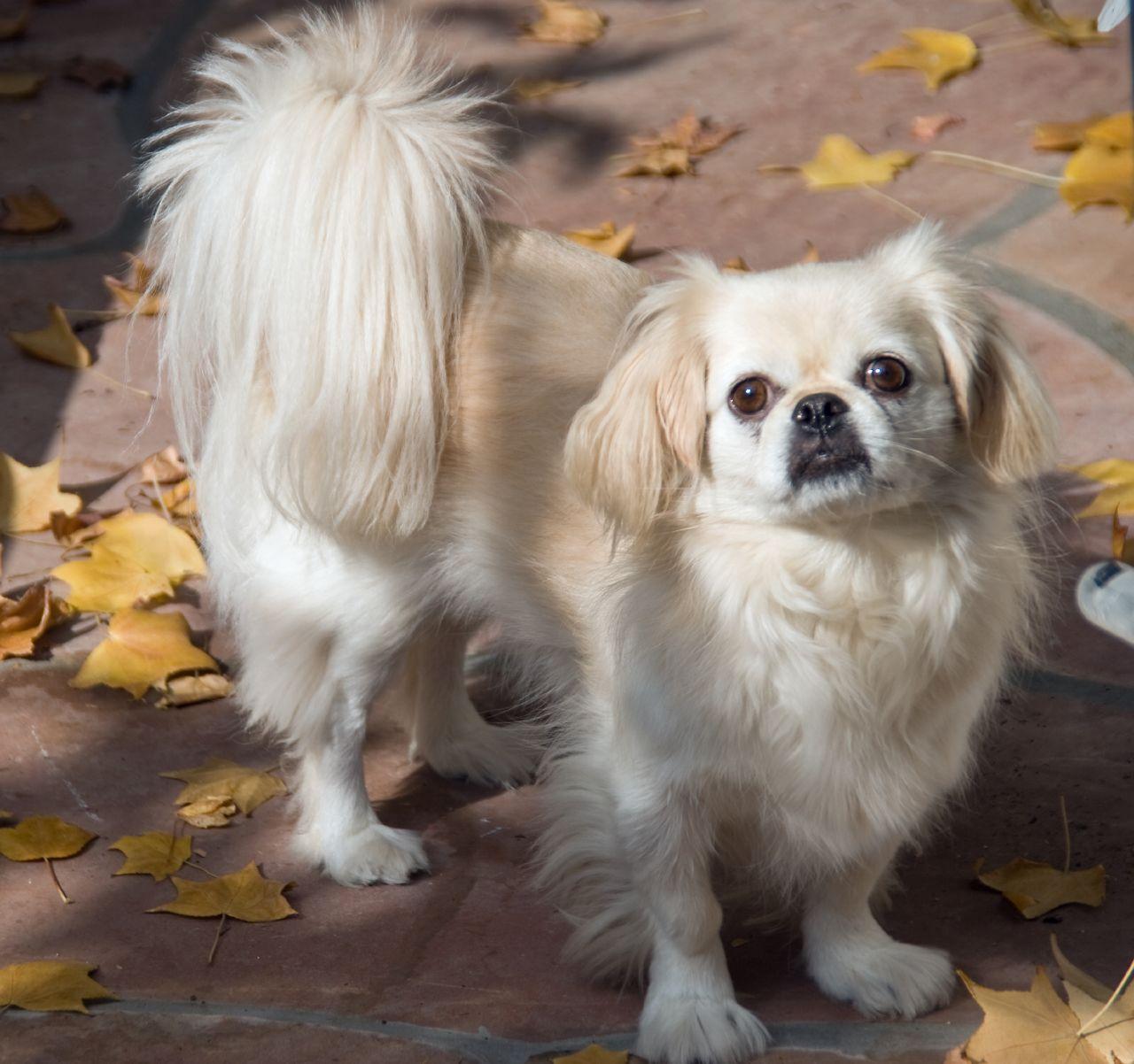 Pekingese Dogs Breeds