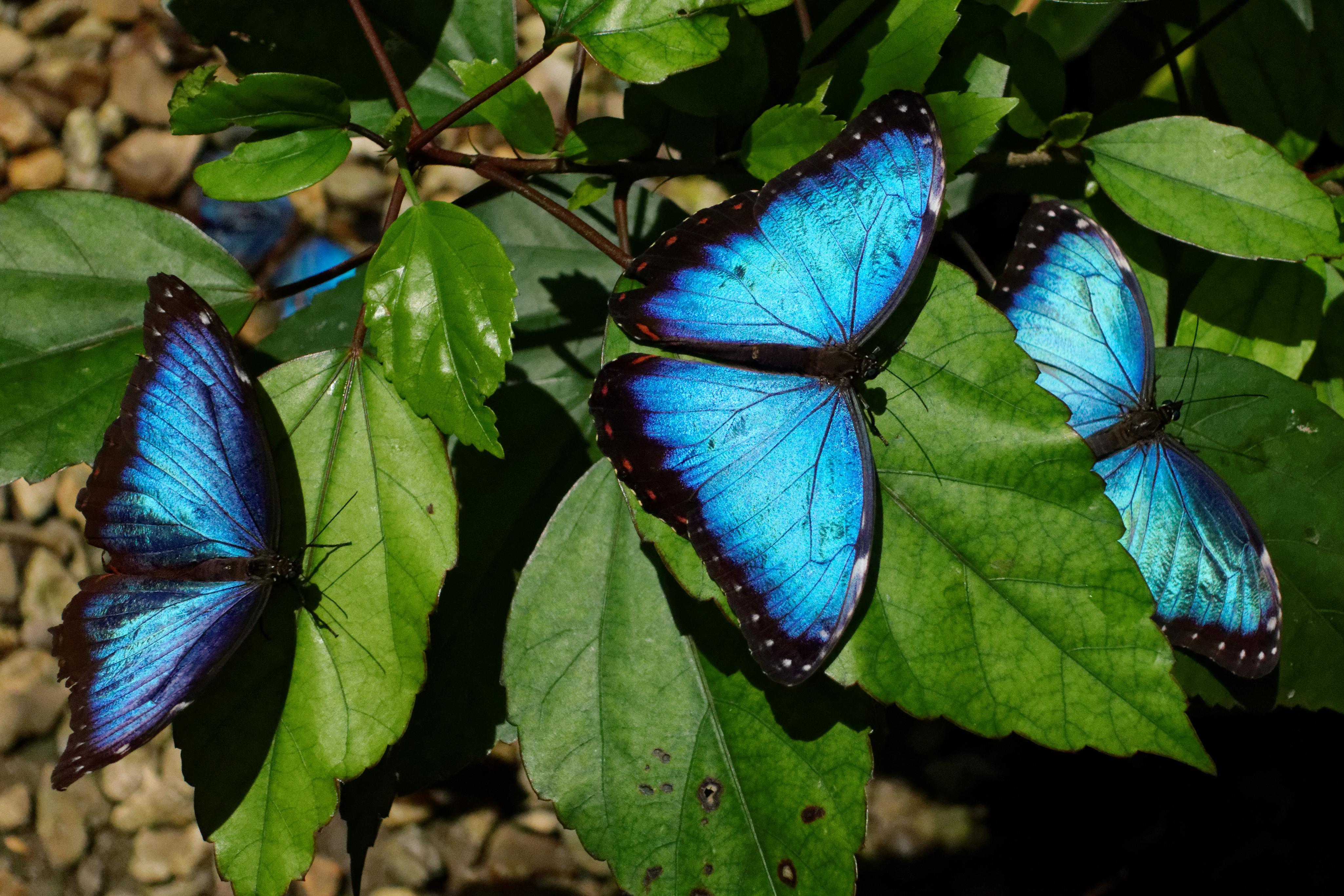 File Blue Morpho Butterfly Farm 2 21 33405883422 Jpg Wikimedia Commons