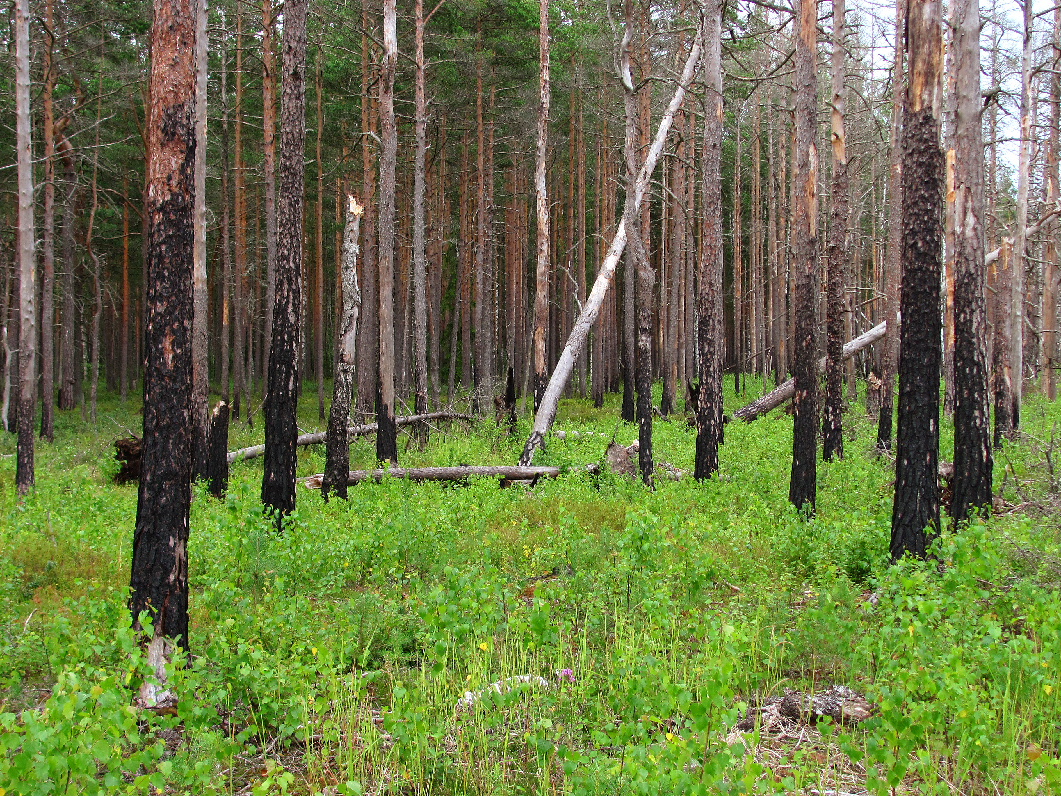 File:Boreal pine forest 5 years after fire, 2011-07.jpg ...