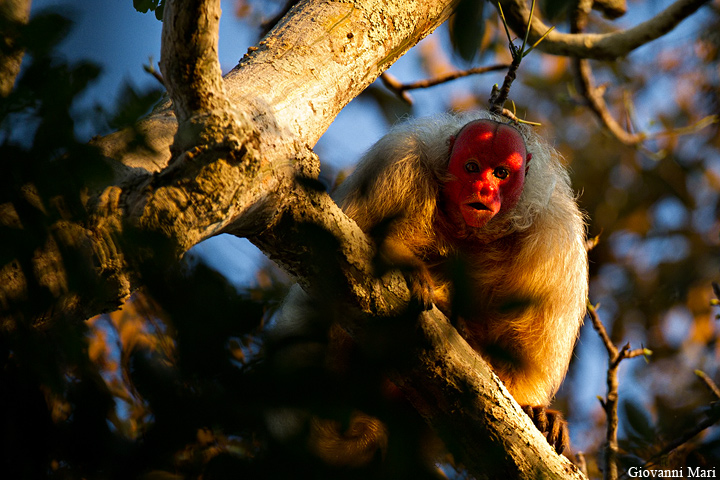 The average adult size of a Bald uakari is  (1' 10