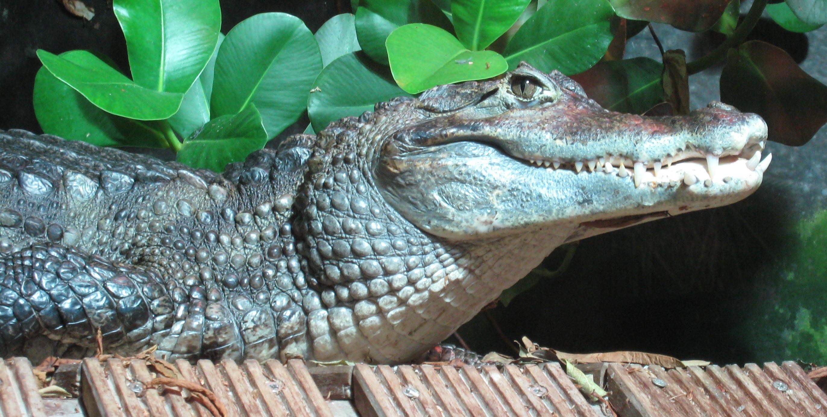 http://upload.wikimedia.org/wikipedia/commons/e/e8/Caiman_crocodilus_Nausicaa.jpg