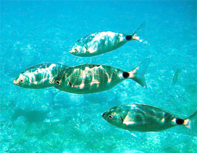 Saddled seabream wikipedia for Free fishing spots near me