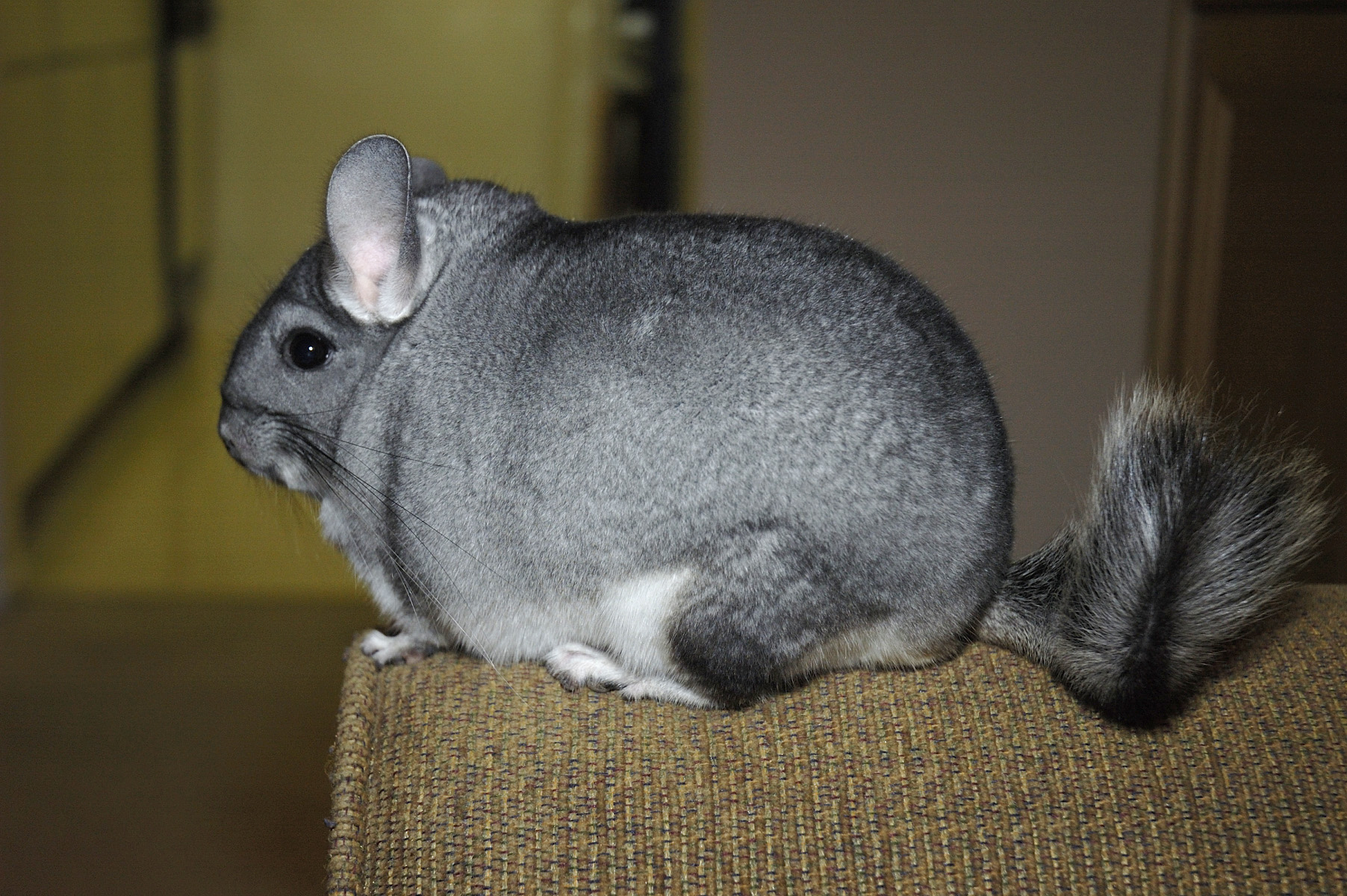 long tailed chinchilla wikipedia