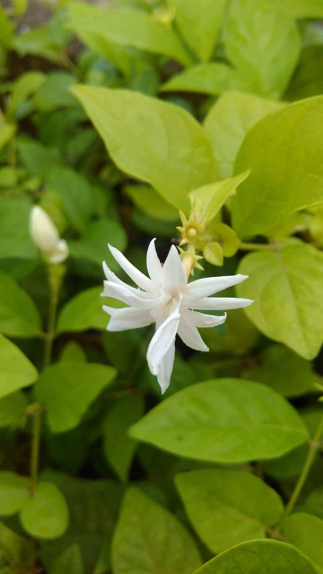 Filecommon indian jasmineg wikimedia commons filecommon indian jasmineg izmirmasajfo
