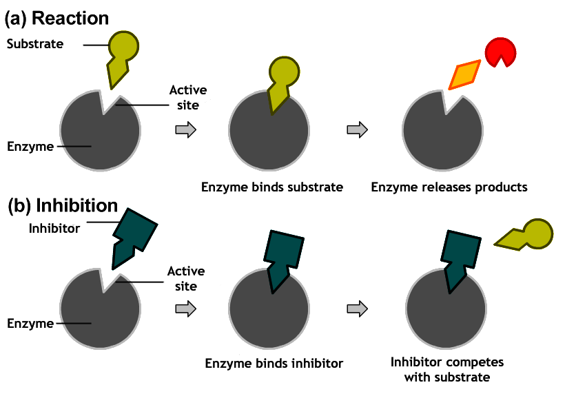external image Competitive_inhibition.png